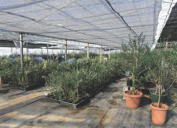 olive2-06