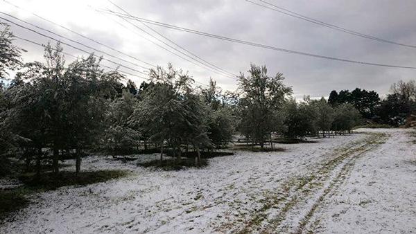 ▲雪にも負けず、北限のオリーブたくましく